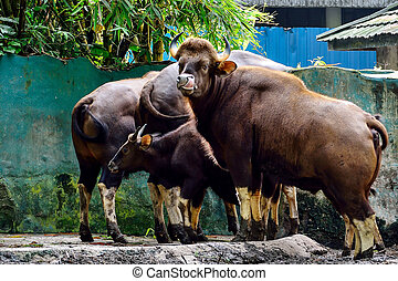 A group of Indian Gaur