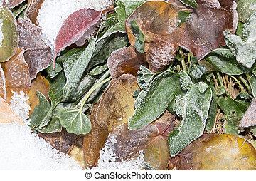 sorrel leaves in the snow