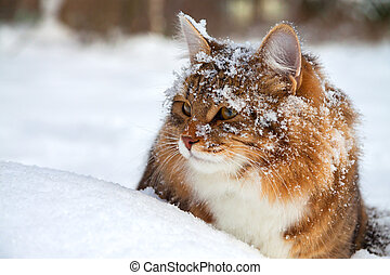 cat on sits on snow - the beautiful cat on sits on snow