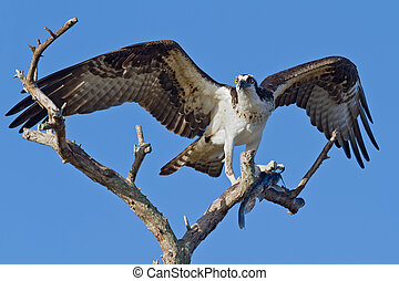 Osprey with Fish (Pandion haliatus) - Osprey perched in a...