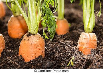 Wet Carrots in the dirt (macro shot)