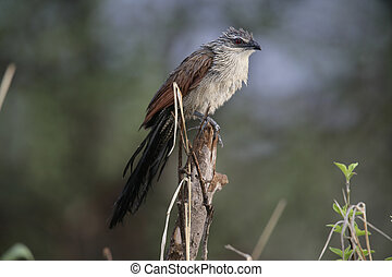 White-browed coucal, Centropus superciliosus, single bird on...