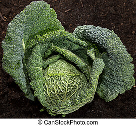 Savoy in the Garden - Fresh Savoy in the garden against dark...
