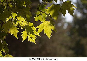 maple leaves on the tree in nature