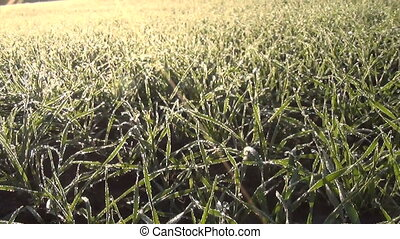 crop cereal wheat hoar - closeup turn view of winter crop...