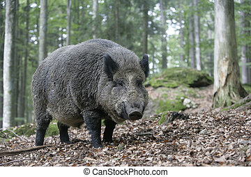 Wild boar, Sus scrofa, single mammal in wood, Germany