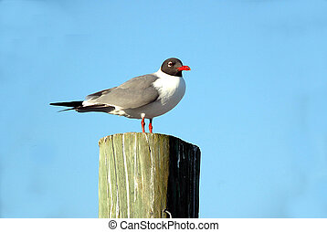 laughing gull - photographed laughing gull on the river st....