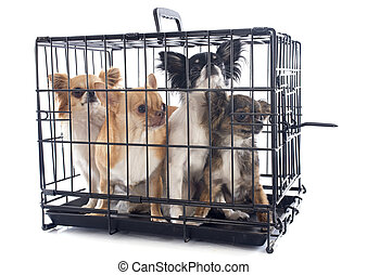 chihuahuas in kennel - chihuahuas closed inside pet carrier...