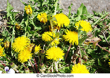 Clump of Dandelions - Dandelions are considered to be weeds...