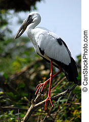 Black white open bill stork bird - isolated shot of Black...