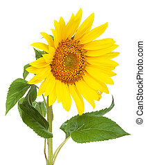 Sunflower. Isolated on white background