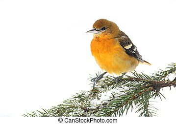 Baltimore Oriole (Icterus galbula) on a snowy branch...
