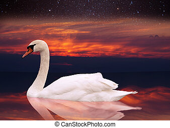 White swan swimming in a pond at sunset. a bird in the wild...