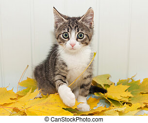 Little scared tabby kitten cautiously goes on autumn leaves
