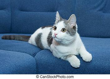 Teenage white kitten is looking up, against blue sofa