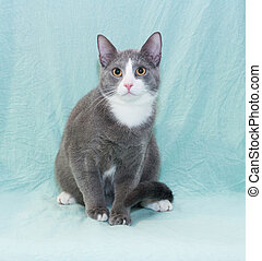 Silver-blue cat with white muzzle and orange eyes sitting on...