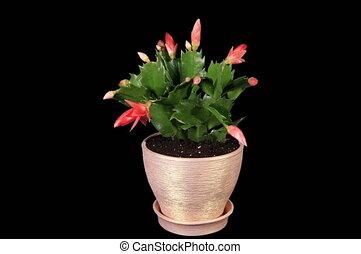 4K. Red schlumbergera flower - 4K. Epiphytic cactus. Red...