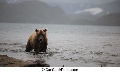 bears fishing - Grizzly bears fishing for salmon, Kamchatka,...