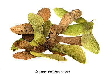 maple tree seeds - a pile of green and brown seeds of maple...