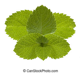 fresh mint leaves isolated on white as a nearly symmetrical...