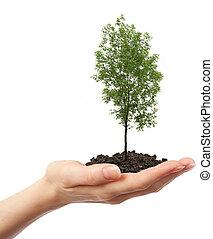 zielony, jesion, drzewo, Ręka