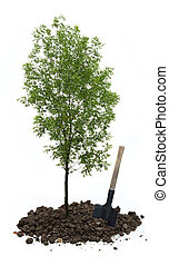 Green ash tree with a shovel