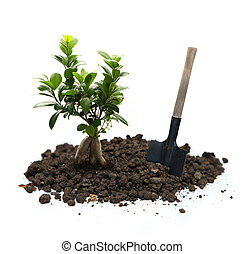 Ficus with soil and shovel