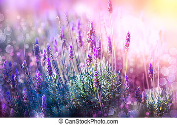 Lavender Flowers Field. Growing and Blooming Lavender