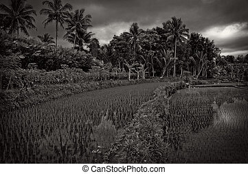 Ricefields Under Cloudy Sky