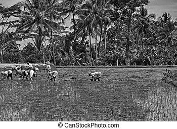 Working on Ricefield in Black and White