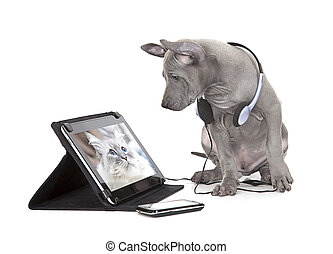Thai ridgeback puppy with tablet computer - Thai ridgeback...