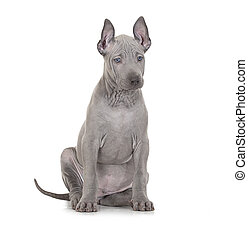 Thai ridgeback puppy over white - Thai ridgeback puppy...