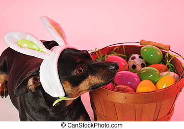 Easter Bunny Doggie - a little dog playing easter bunny