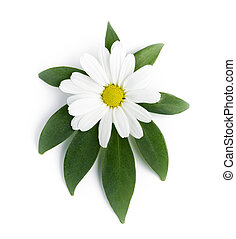 the flower of a daisy is on a green leaf