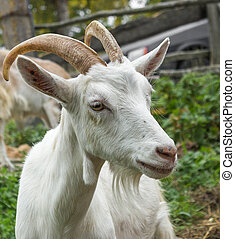 White goat_2 - Adult white goat village with large horns