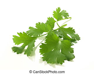 Curry leaves - Branch of coriander on isolated white...