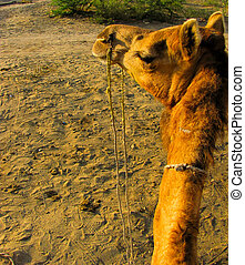 Camel head and neck as seen when sitting on it