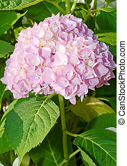 Mophead Hydrangea flower - Pink and white Mophead Hydrangea...