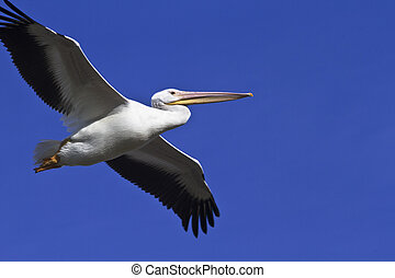 Pelican soars in Arizona sky - An American White Pelican,...