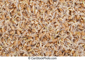 Sprouted wheat - Macro closeup of sprouted wheat berries...