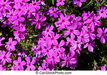 Pink Spring Flowers - Small Pink Spring Flowers Closeup...