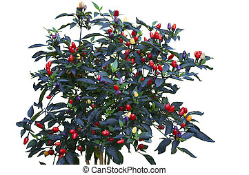Capsicum Annuum Isolated - Vibrant Capsicum Annuum Plant...