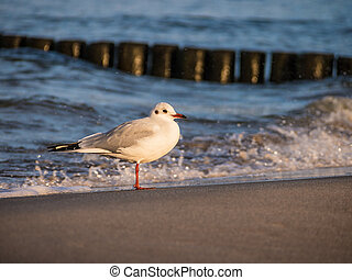 Sea gull - A sea gull on shore of the Baltic Sea.