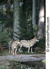 Grey wolf, Canis lupus, two mammals in wood, captive...