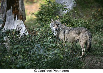 Grey wolf, Canis lupus, single mammal in wood, captive...