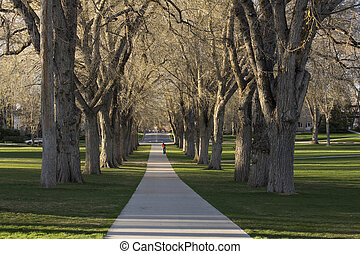 Allee with old American elm trees - the Oval at Colorado...