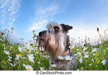cute miniature schnauzer dog with flowers - cute miniature...