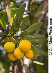 Arbutus fruits - Cluster of unripe yellow madrone fruits...
