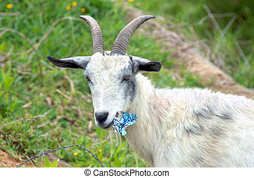 Billy Goat Diet - Billy goat pauses while chewing up a tin...