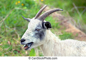 Can-Do Diet - Goat, with long horns, chomps on tin can. He...